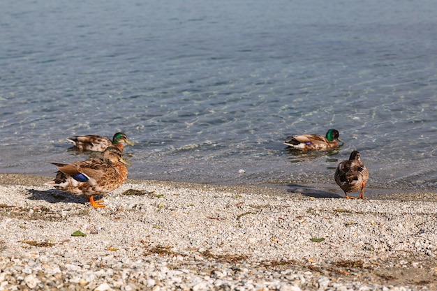 Anatre nel lago a wanaka, nuova zelanda