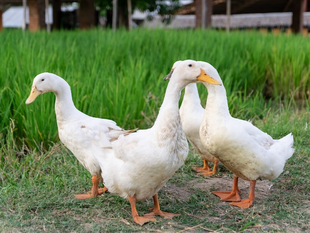Anatre molti bianchi un campo di riso