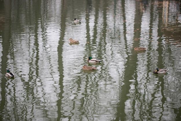 Anatre che nuotano nel lago