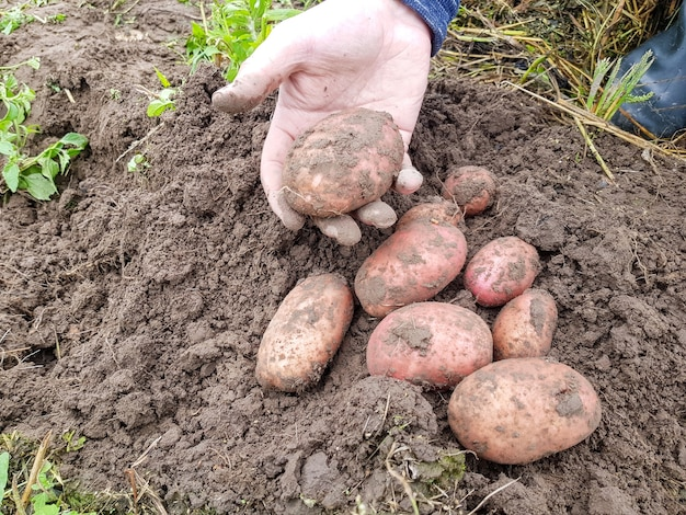 Le patate rosse della piroga sono distese in mano