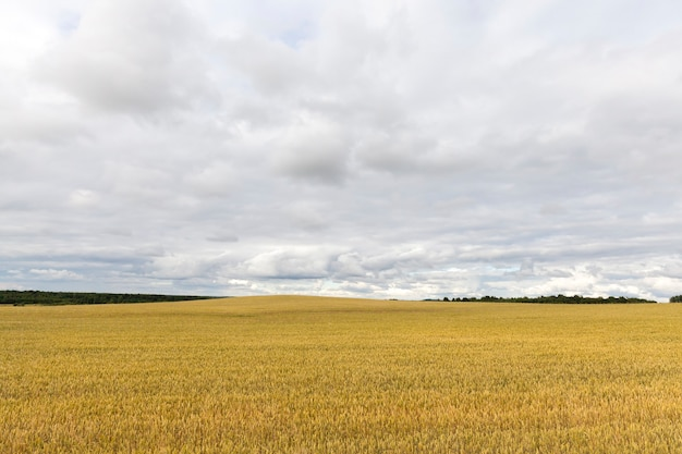 Tempo noioso e piovoso su un campo agricolo con grano