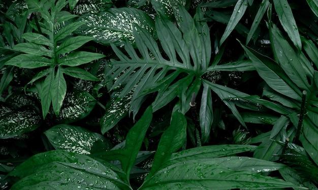 La canna muta foglie verdi tropicali fogliame pianta giungla nella stagione delle piogge e lasia spinosa è cibo e benefici a base di erbe.