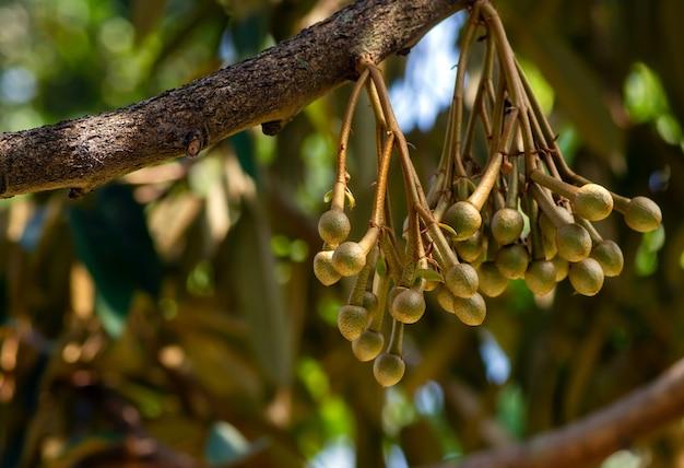 Fiori di durian (durio zibethinus), re dei frutti, che sbocciano dal ramo dell'albero