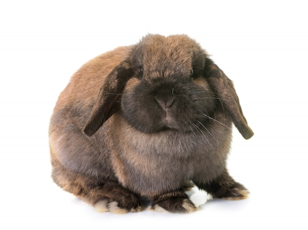 Coniglio dalle orecchie cadenti nano