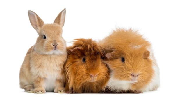 Coniglio nano e porcellini d'india, isolati su bianco