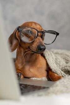 Bassotto nano salsiccia in occhiali neri ricoperti da una coperta grigia lavora legge guarda un laptop