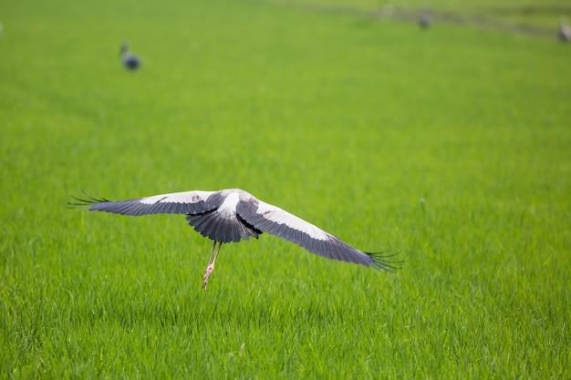Uccello dell'aquila che decolla vola dalle risaie