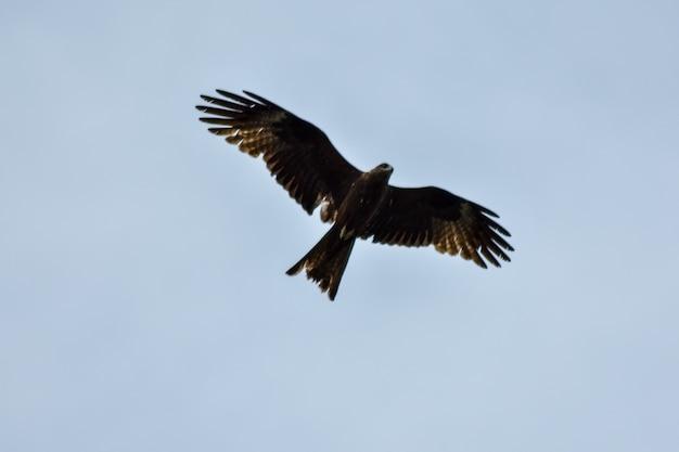 L'aquila vola nel cielo azzurro