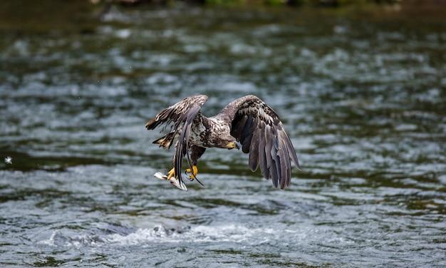 L'aquila sta volando con la preda tra gli artigli.