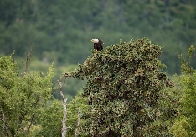 L'aquila è seduta in cima a una pineta sullo sfondo.