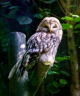 Gufo reale che sonnecchia su un ramo nella luce della sera.