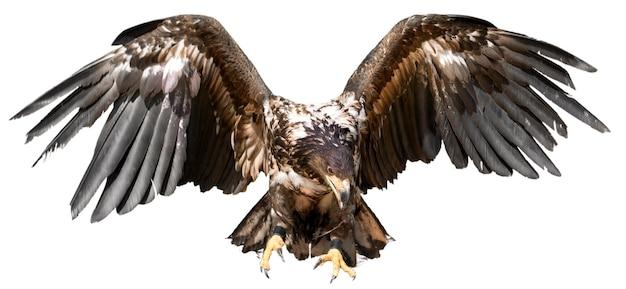 Aquila ad ali spiegate, isolata