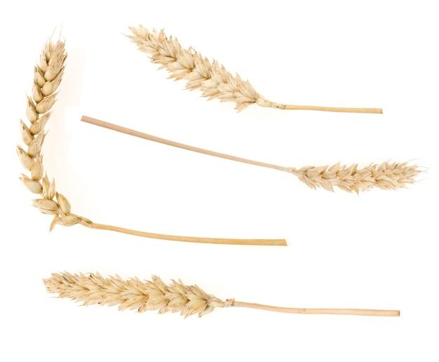 Spiga di grano isolato su superficie bianca