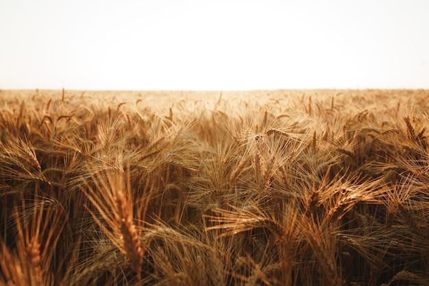 Spighe di grano dorato sul campo da vicino