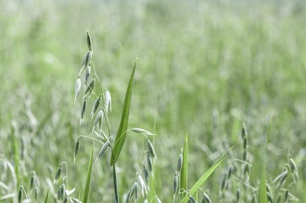 Spighe di avena su campi agricoli seminati a cereali