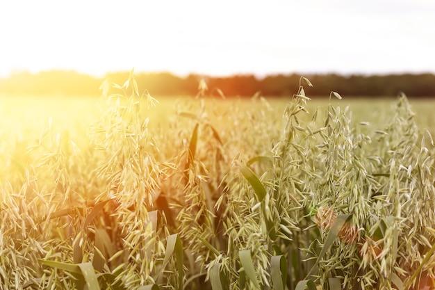Spighe di avena o frumento su campi agricoli seminati a cereali al tramonto