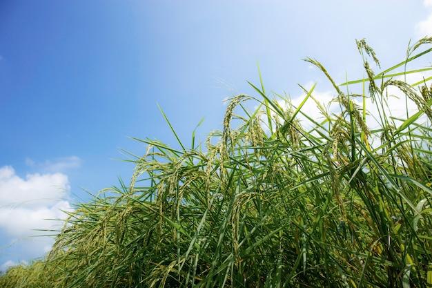 Spighe di riso con cielo blu.