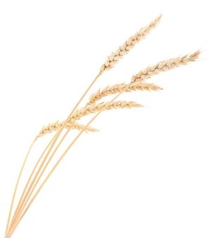 Spighe di grano su uno sfondo bianco