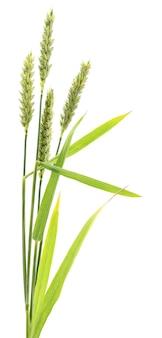 Spighe di grano su bianco