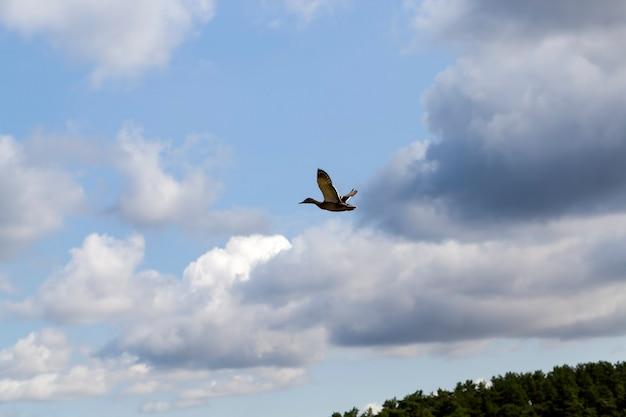 Europa orientale con uccelli di anatre selvatiche, territorio di laghi e fiumi con uccelli e anatre che vi abitano, anatre selvatiche migratorie nei laghi europei