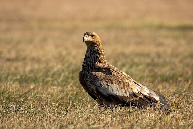 Aquila imperiale orientale che si siede per terra nella natura di autunno