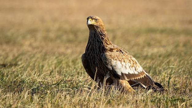 Aquila imperiale orientale che si siede su un prato