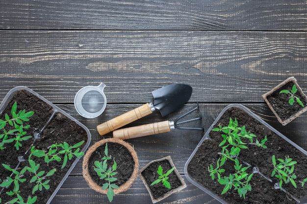 Pentole ecologiche con giovani germogli di pomodoro su sfondo di legno, cazzuola e rastrelli da giardino e un bicchiere d'acqua per l'irrigazione
