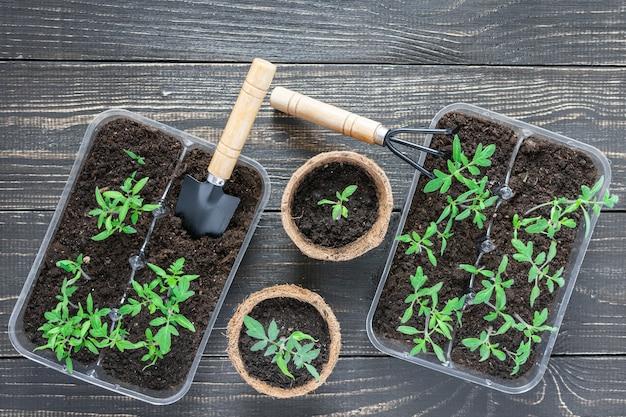 Vasi ecologici con giovani germogli di pomodoro su fondo in legno, cazzuola da giardino e rastrelli