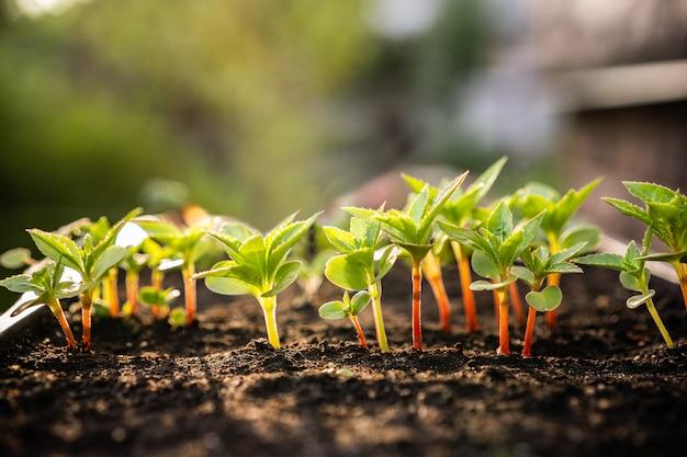 Concetto di ecologia. la piantina cresce dal terreno ricco. piccola profondità di campo piante giovani in vassoio di plastica della scuola materna all'azienda agricola di verdure.