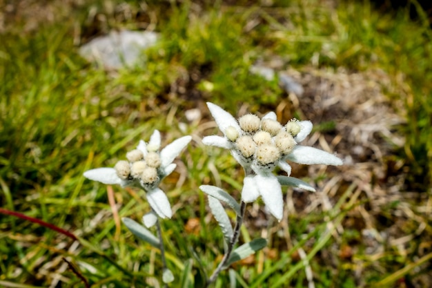 Fiori di edelweiss vista ravvicinata in francia