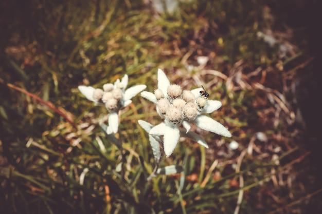 Fiori di edelweiss vista ravvicinata nel parco nazionale della vanoise, francia