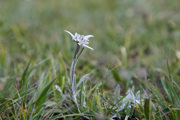 Stella alpina nell'erba