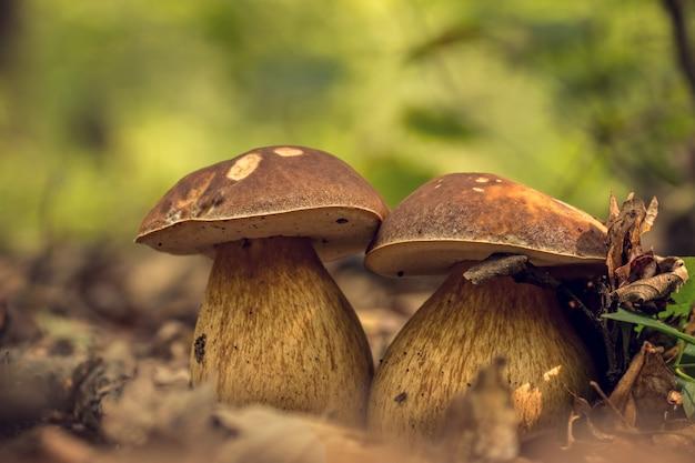 Funghi porcini commestibili sulla lettiera nella foresta (boletus edulis), fuoco selettivo