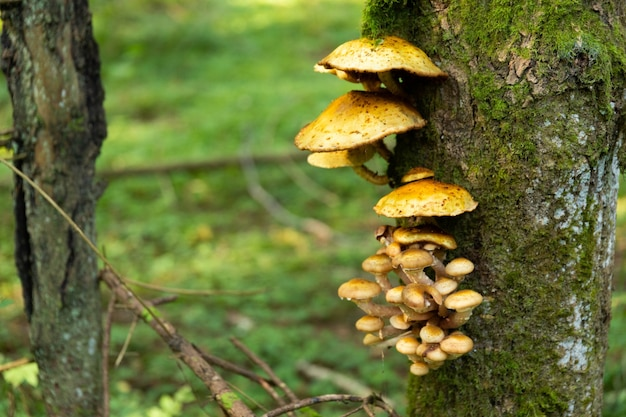 Commestibili, selvatici, funghi di bosco autunnali, armillaria mellea, che crescono su un vecchio albero nella foresta. messa a fuoco selettiva.