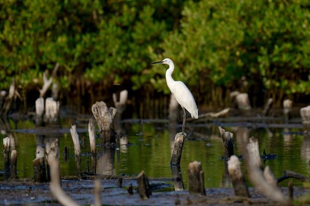 Uccello dell'egretta nella fonte d'acqua naturale
