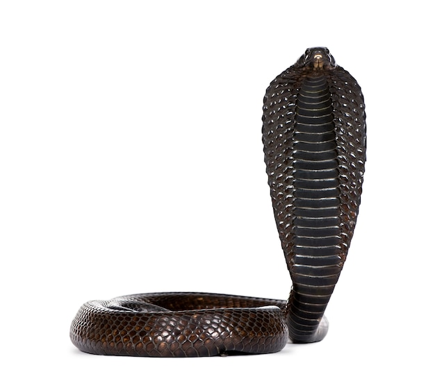 Cobra egiziano (naja haje)
