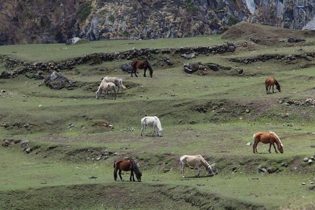 Otto cavalli bianchi e bai che pascolano sul pendio di una montagna verde in himalaya