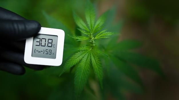 Dispositivo elettronico in una mano con un guanto nero per il controllo della temperatura e dell'umidità durante la coltivazione della cannabis. l'igrometro mostra il livello di umidità per la coltivazione della cannabis