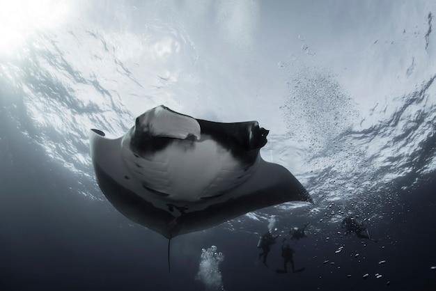Elegante manta ray galleggia sott'acqua