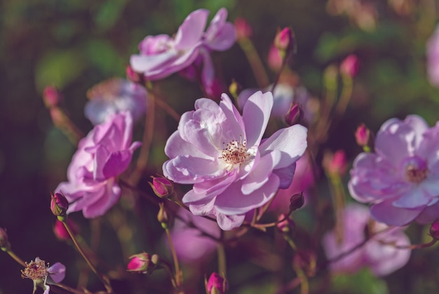 Eleganti rose rosa nella luce crepuscolare del tramonto nel giardino inglese autunnale