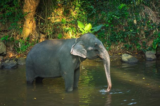 Elefante che bagna con l'aiuto del suo tronco nel fiume dello sri lanka