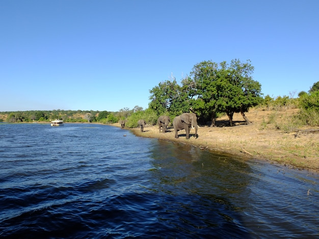 L'elefante sulla costa del fiume zambezi, botswana, africa