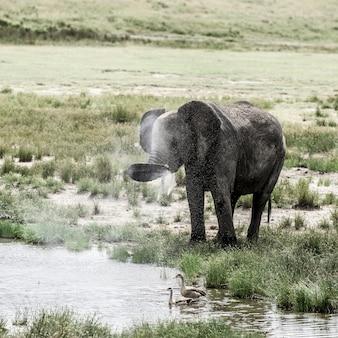 Elefante che beve nel parco nazionale del serengeti