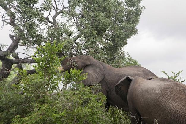 Un elefante che mangia foglie verdi