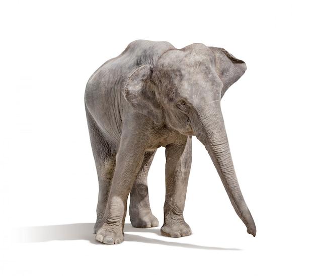 Elefante isolato su bianco