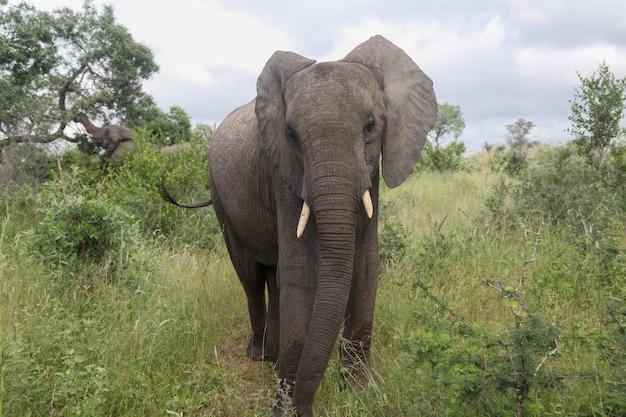 Un elefante che guarda la telecamera