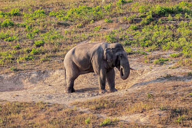 Elefante in movimento nel prato verde selvaggio