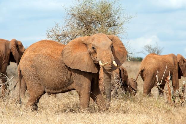 Elefante nel parco nazionale del kenya, africa
