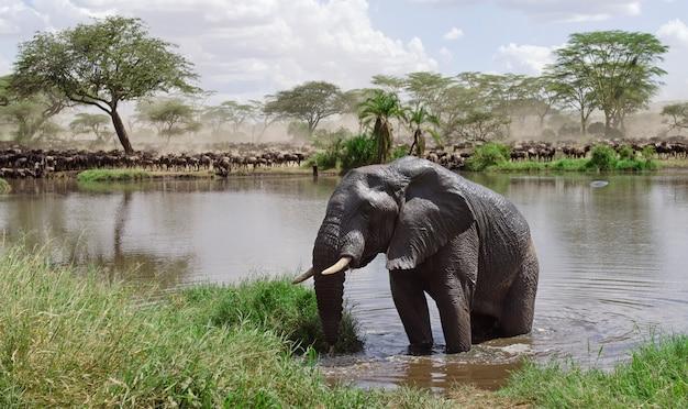 Elefante in fiume nel parco nazionale di serengeti