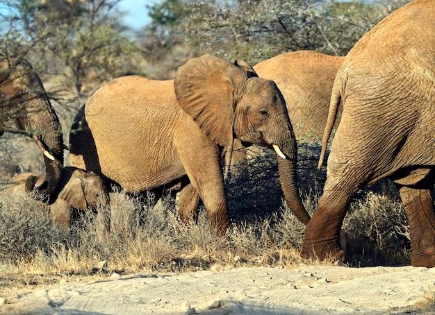 Elefante nella savana nel loro habitat naturale